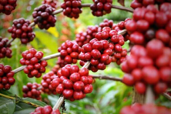 adubacao-de-producao-cafe