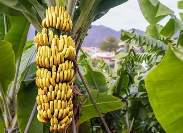 bananeira-da-terra