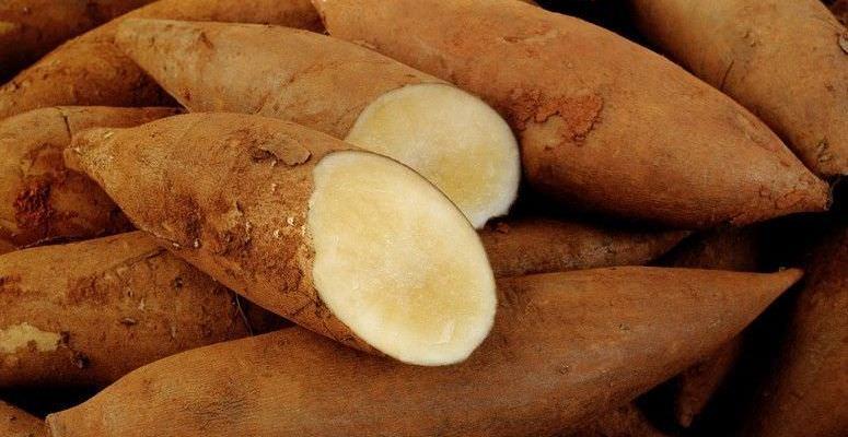 batata-yacon-controle-diabetes