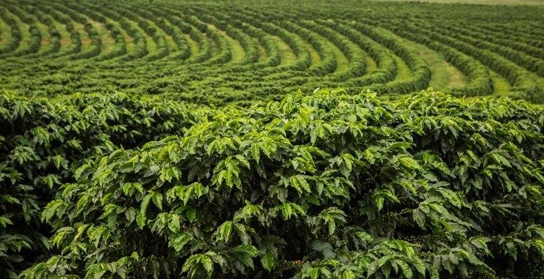 plantio-cafe-adensado