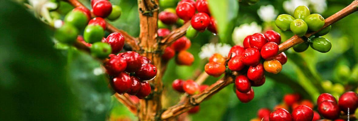 cafe-fruto-por-peso-volume