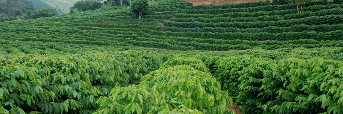 plantio-cafe-organico