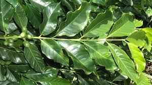 folha-de-cafe-para-analise-foliar