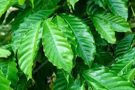 folha-do-cafe-avaliacao-nutricional