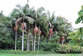 Palmeira Real Australiana