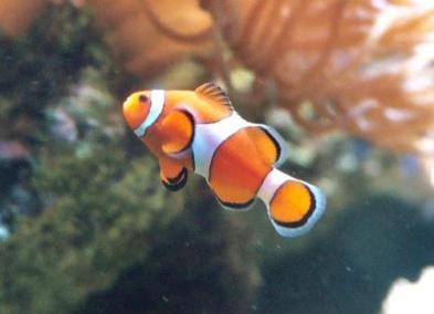 Peixe Ornamental 2
